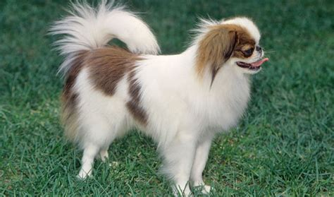 japanese chin puppies japanese chin breed information