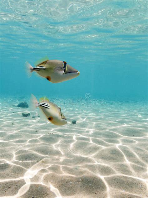 seawall luau grounds fish picasso triggerfish swimming underwater stock photo