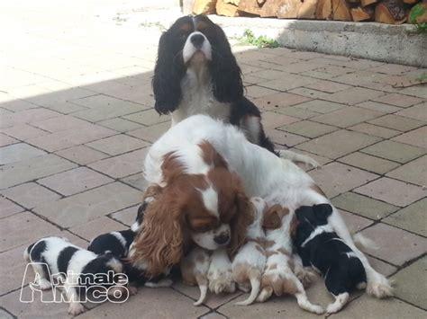 cavalier king in appartamento vendita cucciolo cavalier king da privato a perugia cani