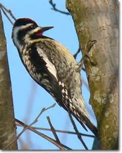 woodpeckers 171 oklahoma city audubon society
