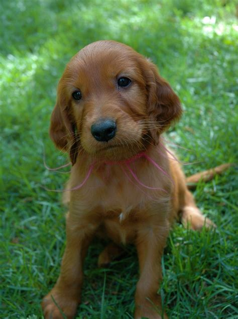 irish setter house dog puppies pictures and information