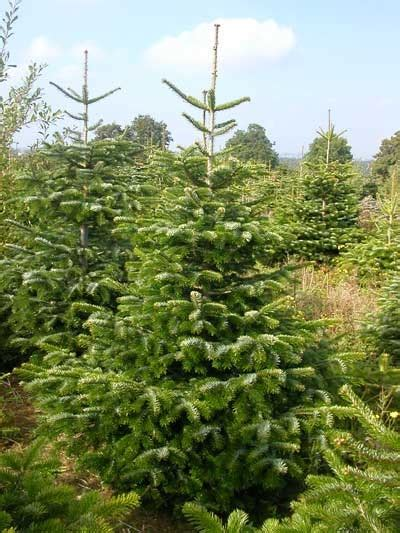 nordmann fir christmas tree pinterest
