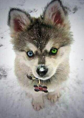Pomsky   or The Pomeranian Husky  the cutest dog ever