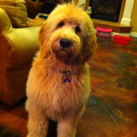 goldendoodle hair golden hair labradoodle puppies breeds picture