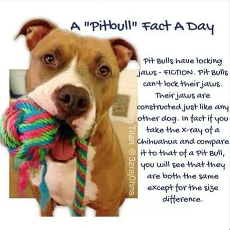 pitbull facts 63 best images about positively pit bulls on pit bull rescue pit bull and