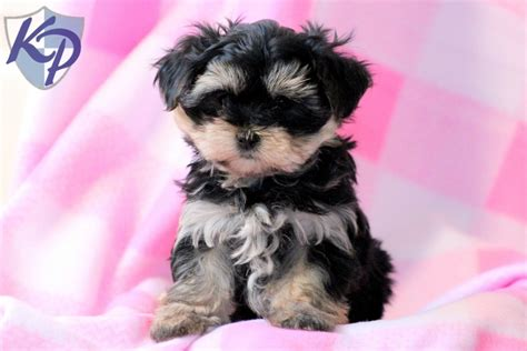 morkies puppies pin morkie puppies for sale on