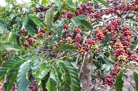 potensi pertanian  perkebunan pekon pekon purawiwitan
