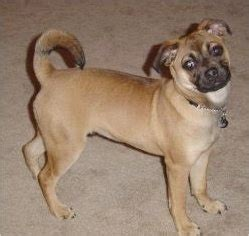 rat terrier and pug mix puggat breed information and pictures