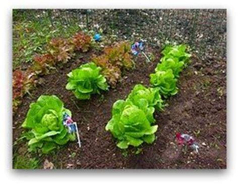 growing leaf lettuce   garden