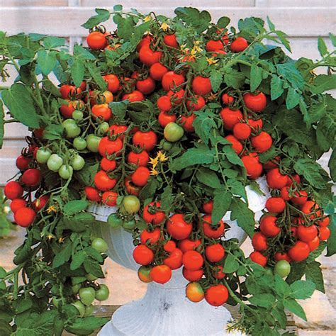 patio tomato maskotka hybrid tomato seeds from park seed