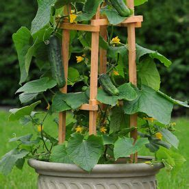 Cucumber Trellis For Sale patio snacker cukes vining variety for large containers with trellises or topsy turvy