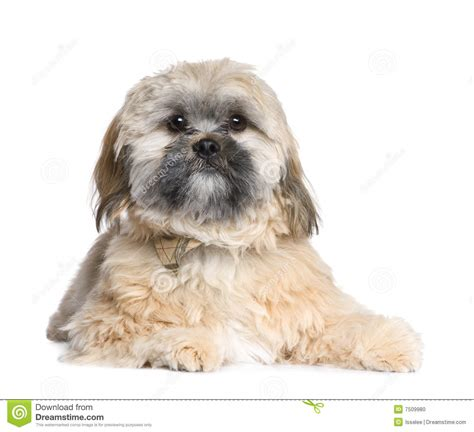 2 month shih tzu shih tzu 18 months lying with royalty free