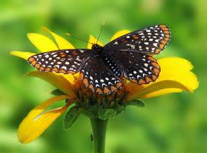 Maryland State Flower - maryland state insect baltimore checkerspot butterfly
