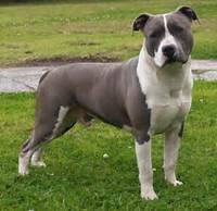 Blue American Staffordshire Terrier  Kennels Breeders Of Quality