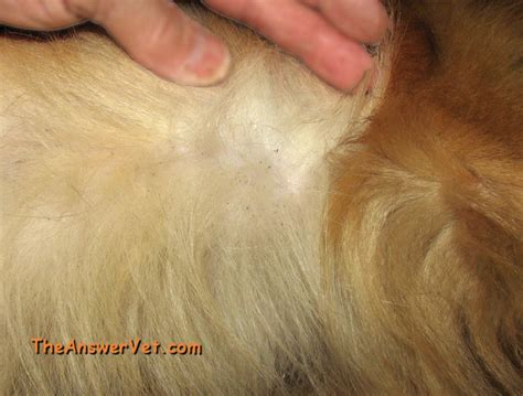 flea on dogs info about causes of a s itching and scratching