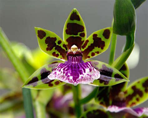 gardensonline zygopetalum hybrids