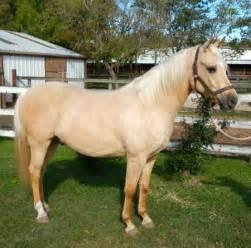 Horses For Sale In Tx Dun Perignon Arabian Gelding In Palomino Horses