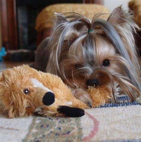 clothes for yorkie puppies 358 best images about terriers on