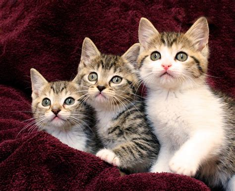 three cute kittens cute kitten trio three kittens pocono shasta and song