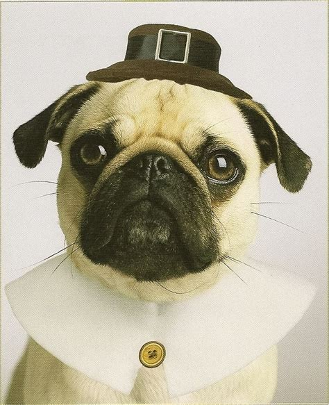 happy thanksgiving pug happy thanksgiving pug pug i m addicted to pugs