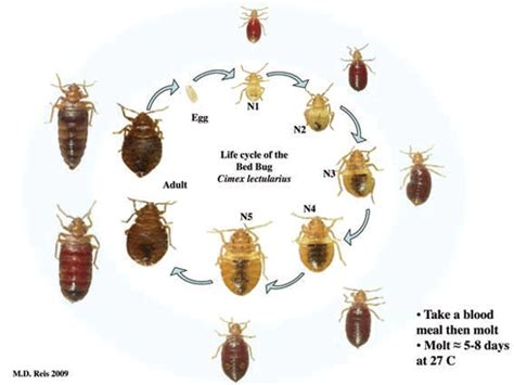lifespan of bed bugs the story from us may 2013