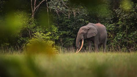 an forest elephant returns from the in gabon lost in gabon new travelist