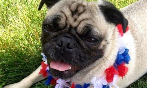 humphrey pug read this s touching list of 10 reasons why it s so easy to humphrey the pug