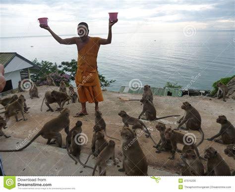 alimentazione scimmie alimentazione delle scimmie in tempio sulla montagna