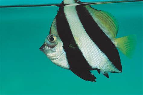 ornamental fish q a 22 wikivet
