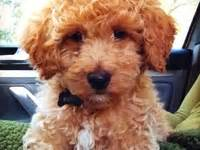 mini goldendoodles health problems 11 best images about dogs on goldendoodle