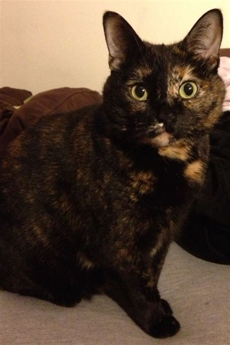 25 best ideas about tortoiseshell cat personality on