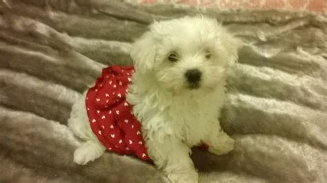 miniature maltese puppies miniature maltese puppy wigan greater manchester pets4homes