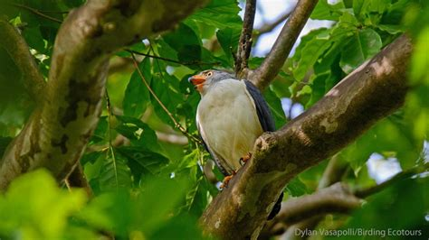 birding tour panama eastern and central panama and the