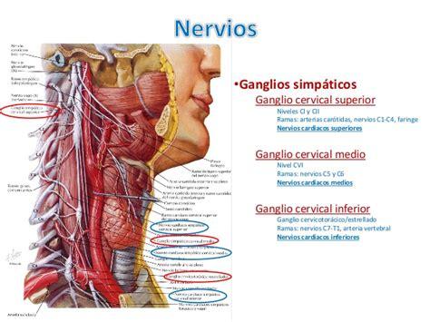 cadenas ganglionares cara y cuello anatom 205 a humana regi 243 n presom 225 tica y tri 225 ngulos del