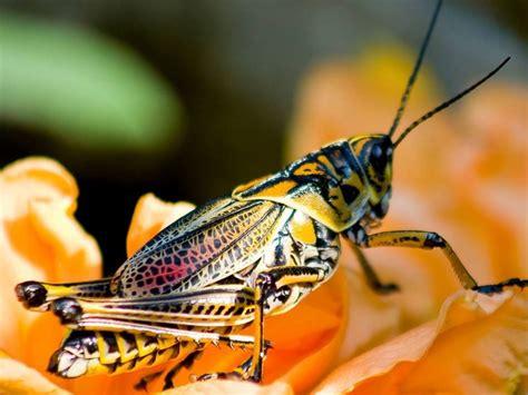 colorful grasshopper a colorful grasshopper bugs n stuff