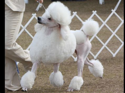 standard poodle puppies florida standard poodle breeders in central florida breeds picture