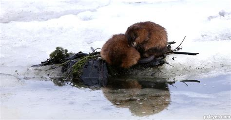 how to keep muskrats out of boats muskrat love picture by glockman2 for animals