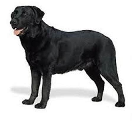 golden retriever negro caracter 237 sticas perro gu 237 a asociaci 243 n de usuarios de perros guia murcia