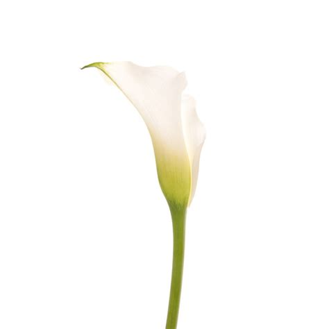 white mini calla lilies flower muse