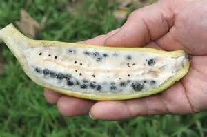 say quot hello quot to new species of banana called quot musa nanensis quot