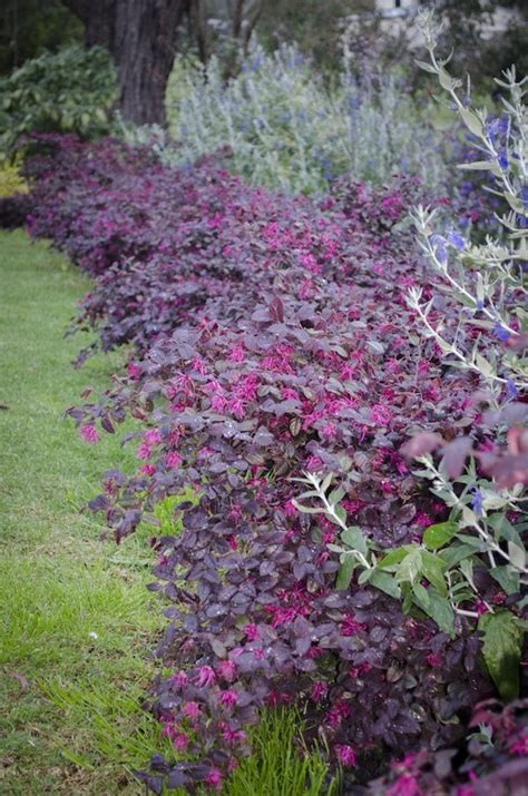 Garden Flowering Shrubs Loropetalum Quot Plum Quot Landscaping Ideas Gardens And Landscaping