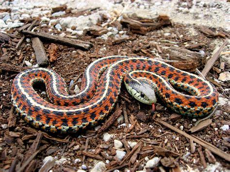 Garter Snake Live File Coast Garter Snake Jpg