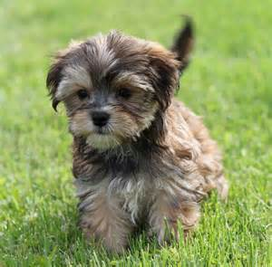 pictures of morkie puppies morkie puppy adorable awwwwww