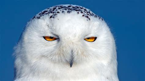 wallpaper  owl snowy owl bird
