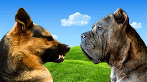 rottweiler or german shepherd doberman vs rottweiler vs german shepherd photo happy heaven