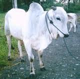 Bibit Sapi Peranakan Ongole mengenal sapi potong di indonesia 171 yuari official website