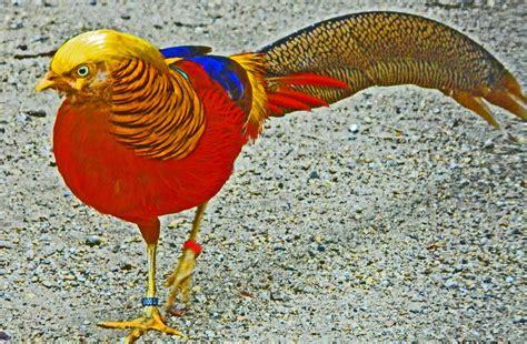 next wallpaper gold birds golden pheasant bird colorful gold 8 wallpaper 2315x1515