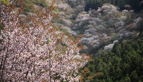 mt yoshino the home to 30 000 cherry blossom trees and