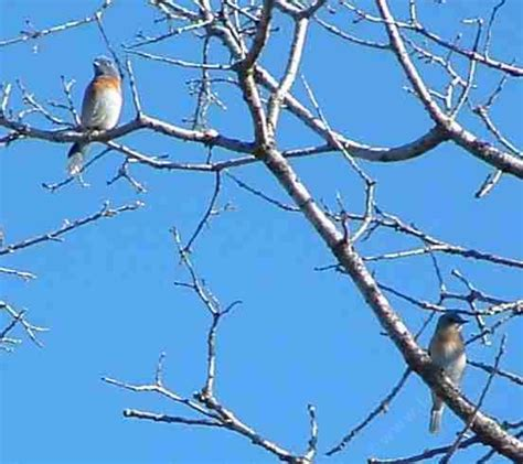 information about western bluebirds and how to build a