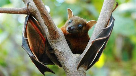 le pipistrelo pipistrelli della frutta pteropodidae foto scheda completa